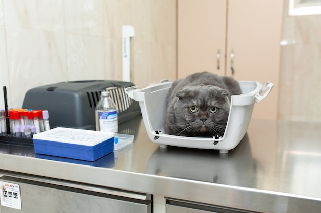 プラスチックの箱に入ったおびえた灰色の猫は、獣医クリニックでの処置を待ちます。