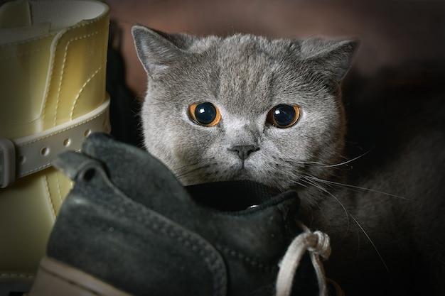 おびえた純血種の猫が靴の間のワードローブに隠れました