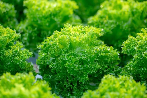 新鮮なfrillice icebergレタスの葉、サラダ野菜水耕栽培農場