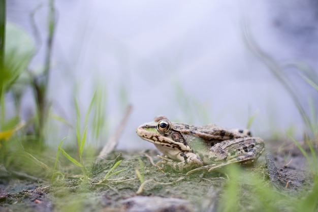 Frog close-up on the river bank, wildlife