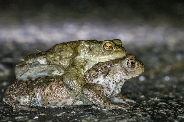 Frog, common toad (bufobufo) in nature in belgium migration