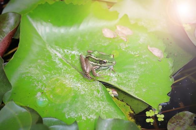 Frog on green lotus leaves in river