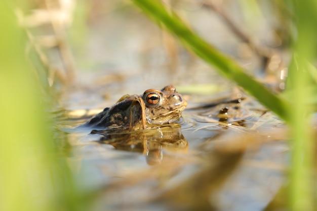 交尾期の池のカエル