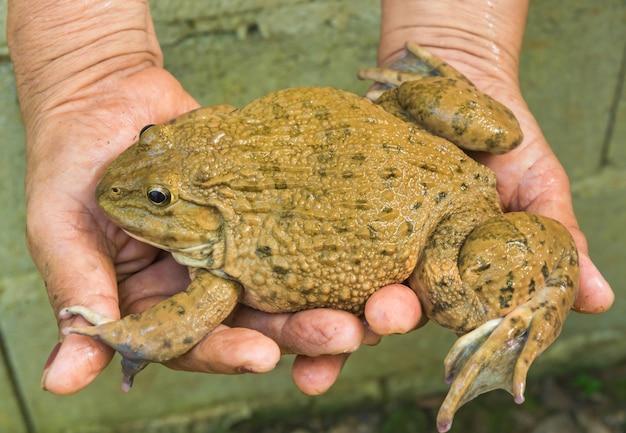 손에 개구리. 자연에 asin 야생 개구리입니다.