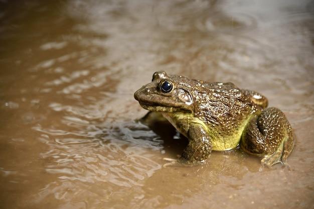 Лягушка в воде или пруду, крупным планом