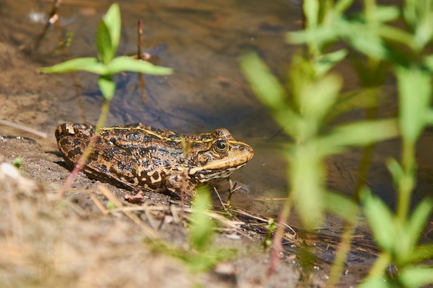 A frog is basking in the sun on the shore of the lake