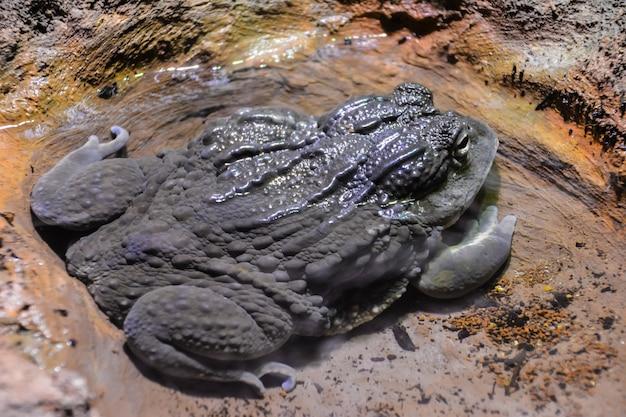 개구리는 돌 사이의 웅덩이에 누워 있습니다. 런던.