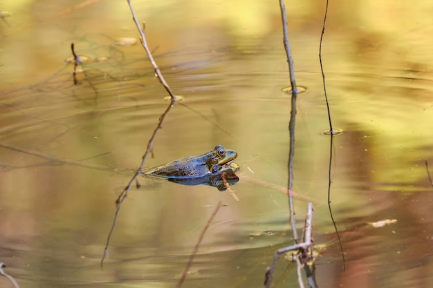 A frog looks out of the water on a pond