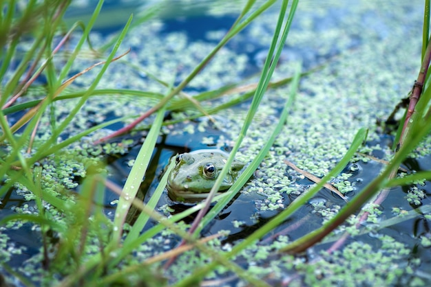 Frog looks out of the water surface of a pond covered