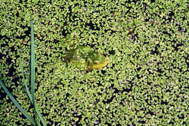 Frog in marsh amongst duckweed
