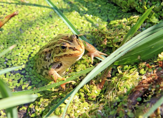 Frog in marsh amongst duckweed