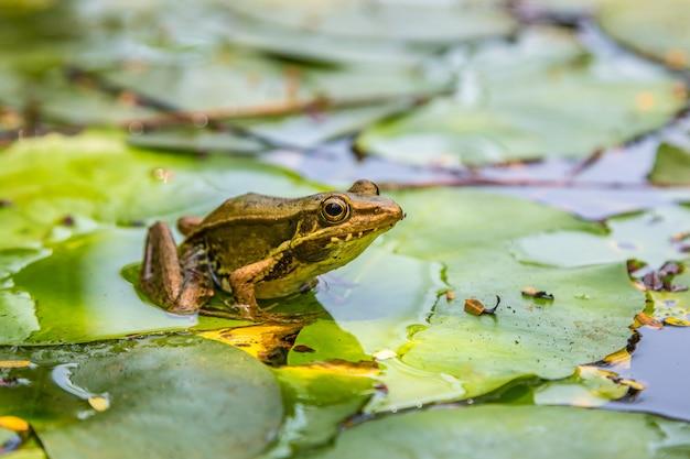 ユリの葉のカエル Premium写真