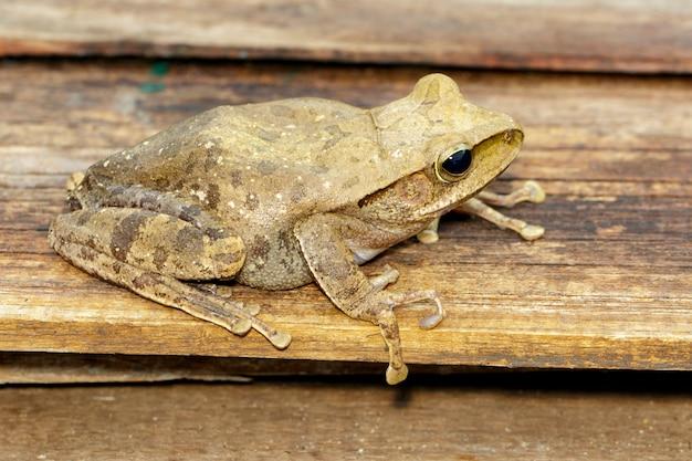 Frog, polypedates leucomystax,polypedates maculatus. amphibian. animal.