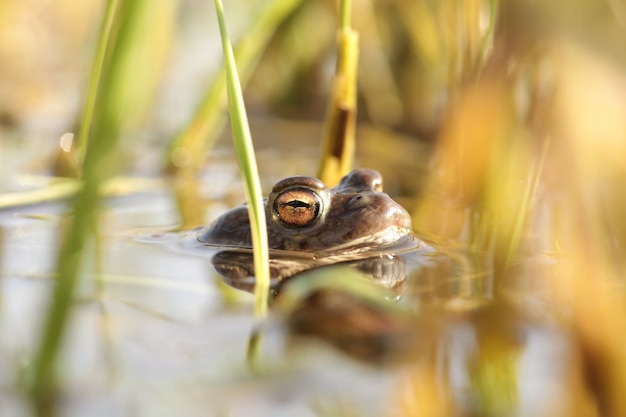 Frog in a pond during mating season