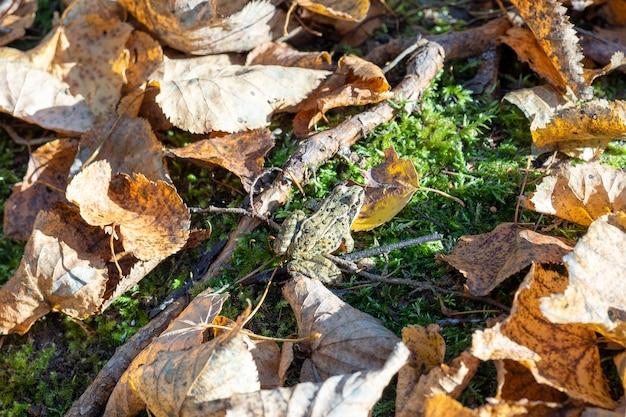 개구리는 가을에 낙엽으로 둘러싸인 녹색 이끼에 앉는다