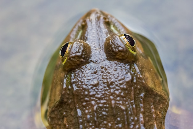 Frog in the water nature background