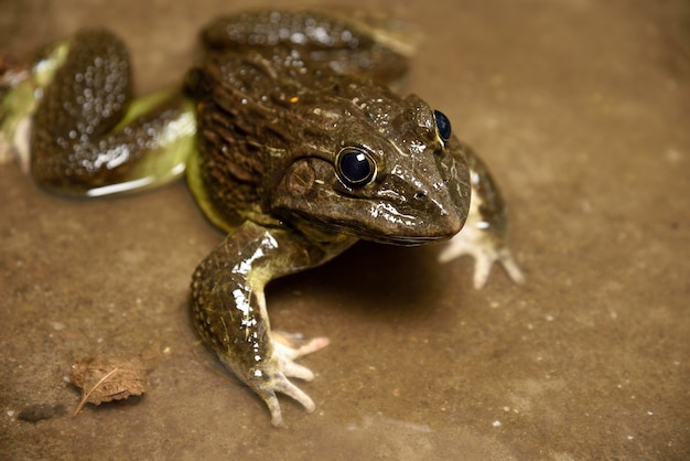 Frog in water or pond, close up