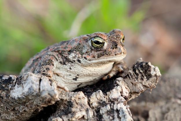 Frog with bulging green eyes