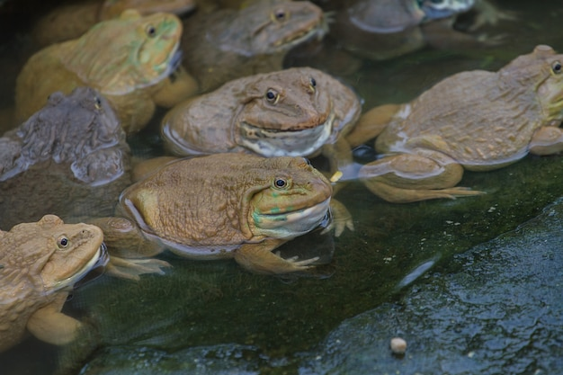 Frogs are found in a pond in a frog farm in thailand