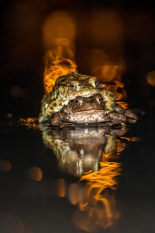 Frogs, common toads (bufobufo) in nature in belgium migration