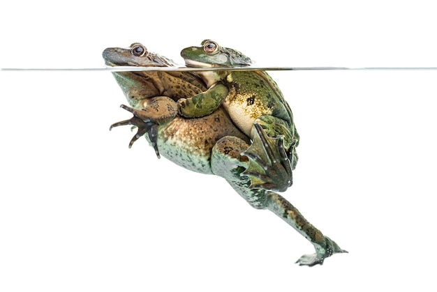 澄んだ水の下で交尾するカエル、白で隔離