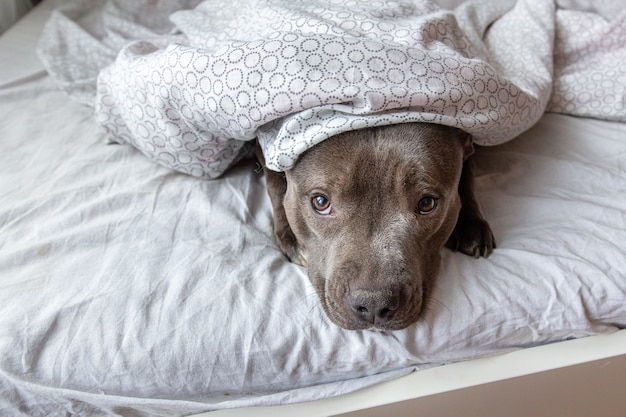 Сверху сконцентрированная молодая собака амстафф смотрит в камеру, отдыхая на кровати под одеялом