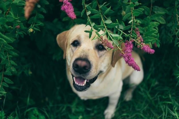 Сверху, счастливый улыбающийся лабрадор сидит в кустах