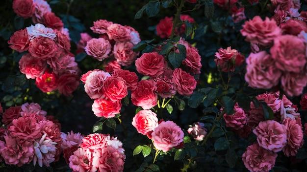 Сверху величественные розы в саду
