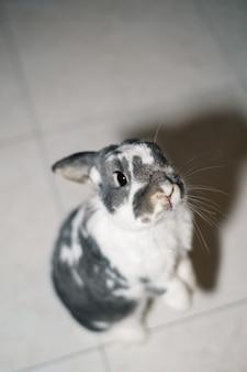 部屋の床に座っている愛らしい面白い灰色と白の斑点のあるペットのウサギの上から