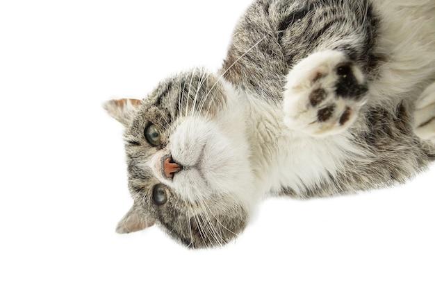 Снизу сквозь стекло пушистый кот, стоящий на стеклянном столе застекленного балкона и озирающийся