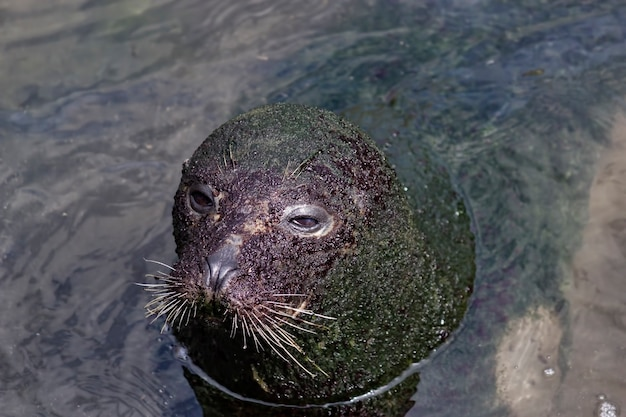 From above cute big seal covered with dirt swimming in the water