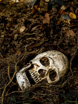 In front of human skull buried in the soil with the roots of the tree on the side.
