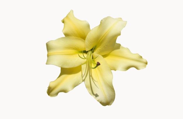 フロントトップ写真白い背景で隔離の美しい黄色のユリ