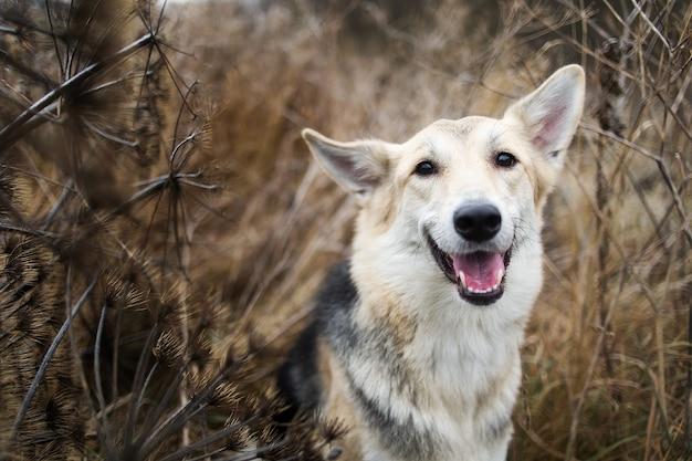 楽しみにして黄色い牧草地を歩いているハスキー犬の正面図