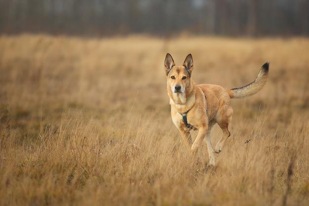 カメラを見ている黄色い牧草地を歩いている赤い雑種犬の正面図