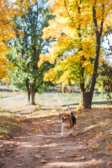 Front view of a beagle dog running in forest walkway