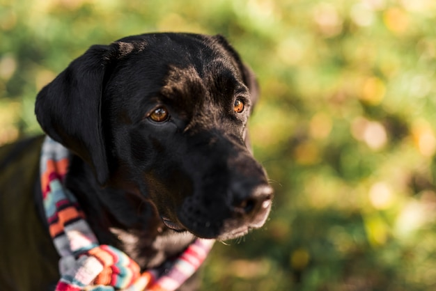 Front view of black labrador wearing multicolored scarf