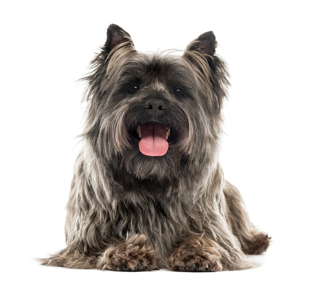Front view of a cairn terrier lying panting isolated on white