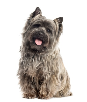 Front view of a cairn terrier sitting panting isolated on whit