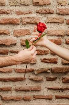 Front view of couple hands holding rose