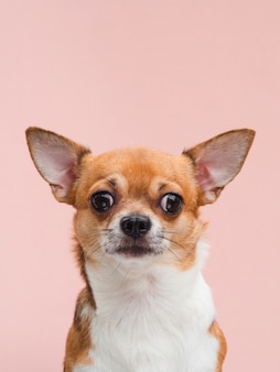 Front view cute chihuahua puppy with alerted ears