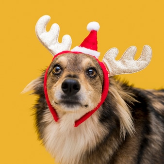 Front view of cute dog with christmas concept