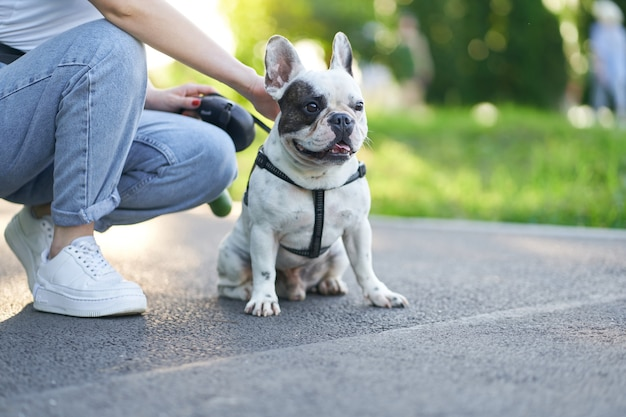 Front view of cute male french bulldog sitting on road and looking aside. unrecognizable female owner holding pet using leash, having rest nearby in city park. domestic animals, pets concept.