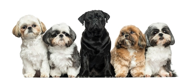 Front view of dogs in a row sitting isolated on white