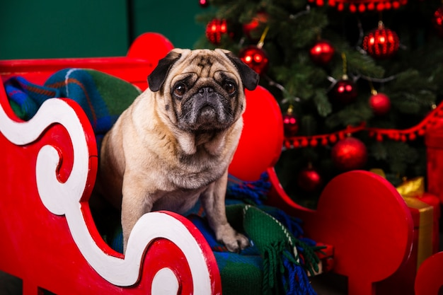Front view domestic dog in santa sleight