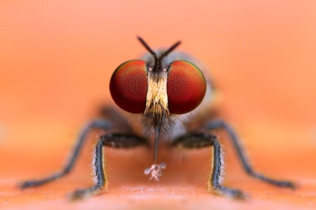 Front view of extreme magnified details robber fly eating prey in nature yellow leaf background