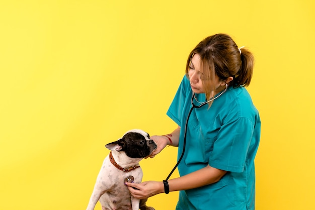 Front view of female veterinarian observing little dog on yellow wall