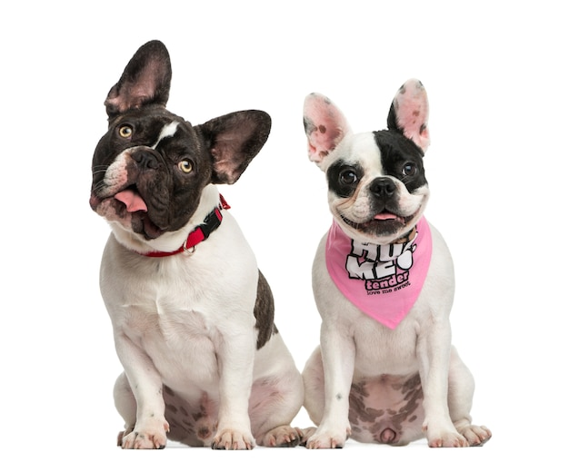 Front view of french bulldogs sitting together, isolated on white