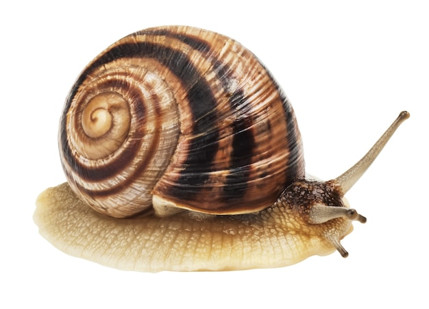 Front view of garden snail