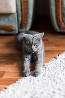 Front view of grey british shorthair cat stretching on floor